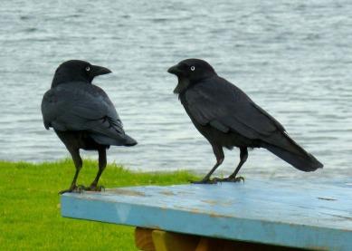 ravens-236333_1920